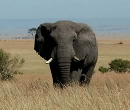 Elephant-Maasai-Mara