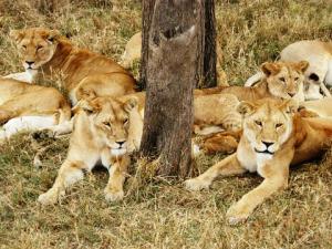 african travel - lions - lake manyara