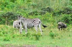 warthog - arusha national park