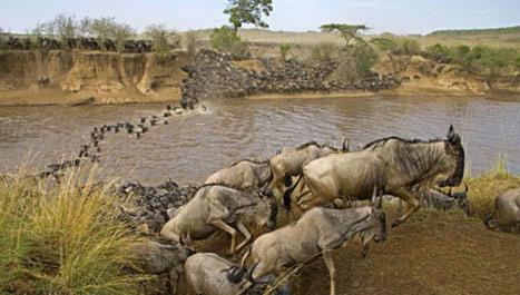 wildebeest-migration-masaai-mara